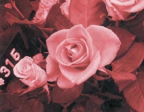 薔薇サンプル005