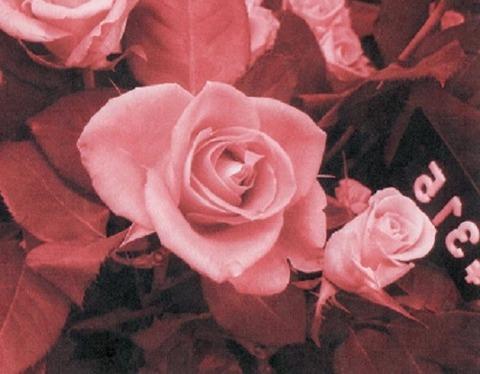 薔薇サンプル006