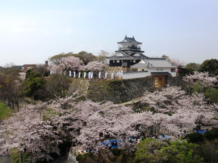 浜松城公園桜見頃