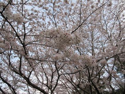浜松城桜開花