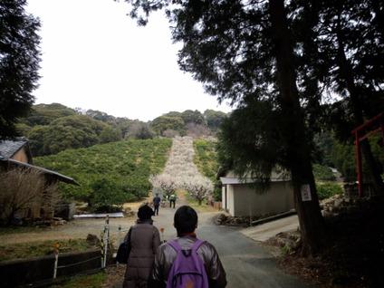 長楽寺梅のトンネル