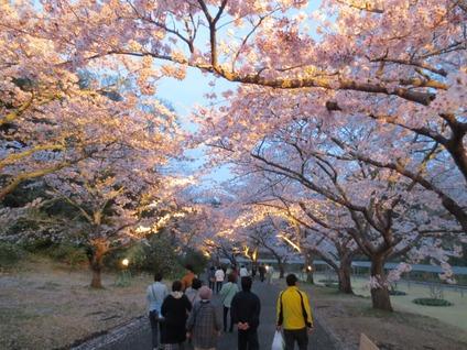 夜桜はままつフラワーパーク