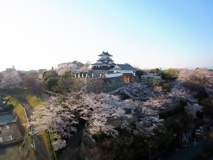 浜松城公園桜開花状況