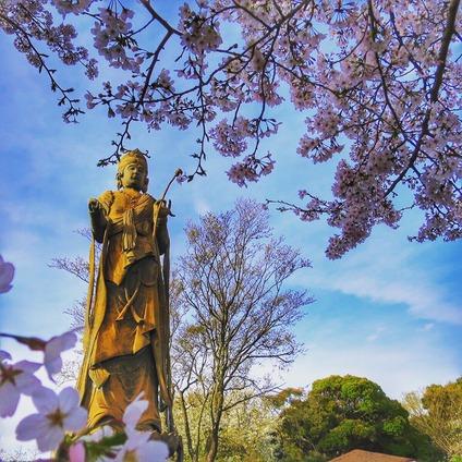 舘山寺観音像と桜