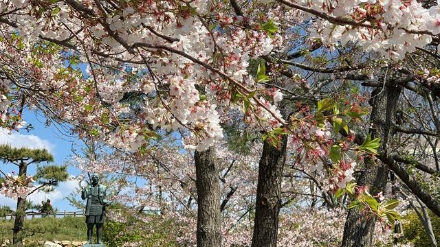 浜松城の桜開花