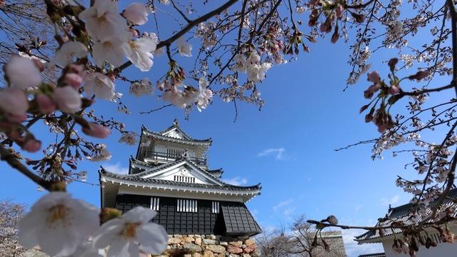 浜松城と桜