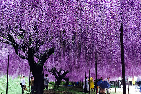 wisteria_spt02_pht01