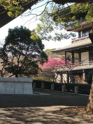 hikansakura1