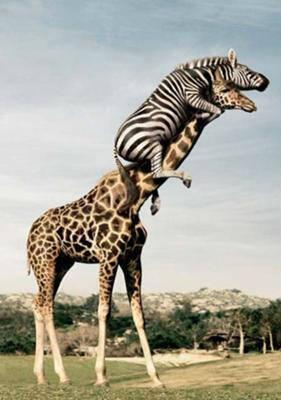キリンを乗りこなすシマウマ