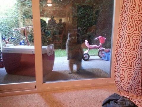 外を見るとアライグマが立っていた