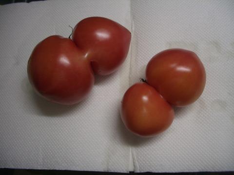 トマトに異変か 1 (2)