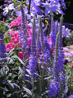 ベロニカの花壇