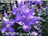 クレマチス17-1