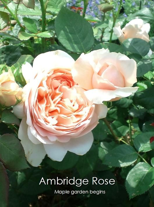 30Ambridge Rose