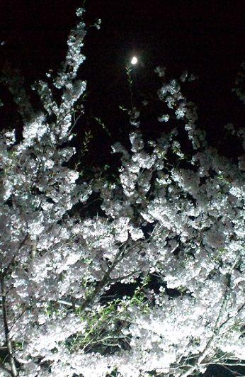夜桜270402