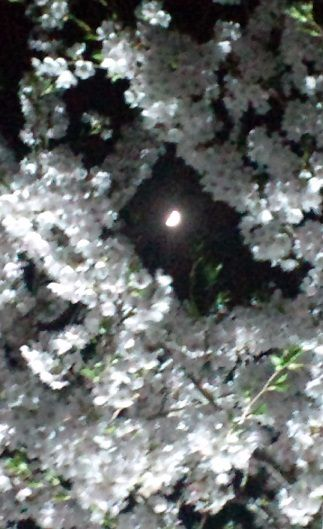 夜桜270401