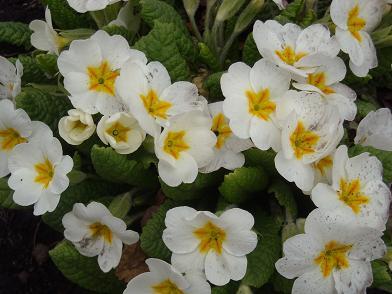 4白い桜草