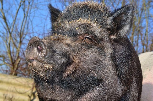 boar-284685_640
