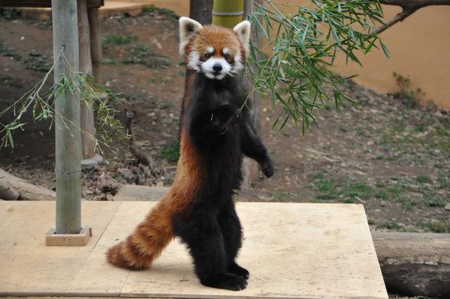 レッサーパンダの画像 p1_36