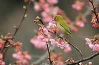 AJ0U5563河津桜&メジロ