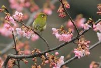 AJ0U5562河津桜&メジロ