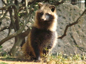 raccoon_dog002