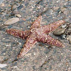 250px-Ochre_sea_star_on_beach,_Olympic_National_Park_USA