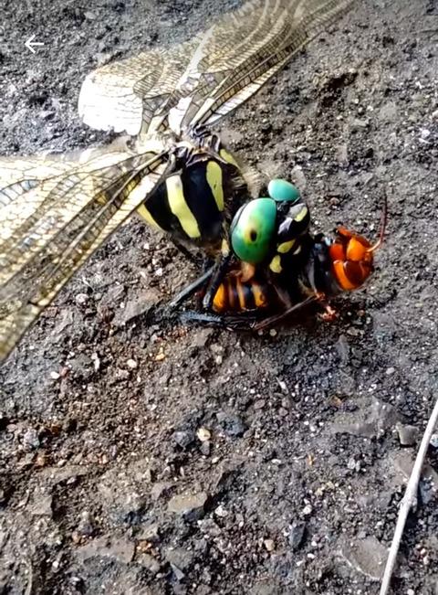 【悲報】スズメバチさん、とんでもない相手に食べられてしまう