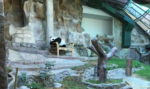 チェンマイ動物園パンダ03