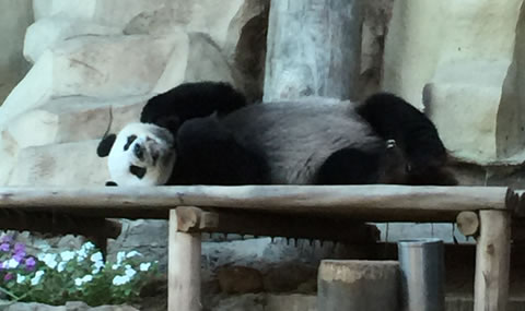 チェンマイ動物園パンダ04