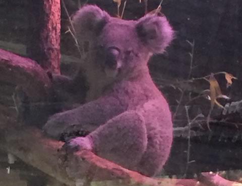 チェンマイ動物園コアラ02