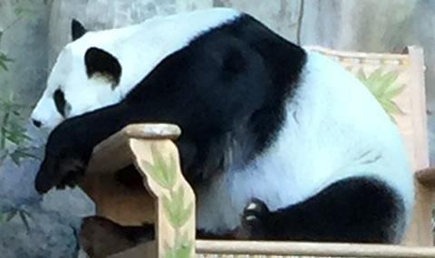 チェンマイ動物園パンダ02