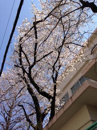 sakura (336x448)