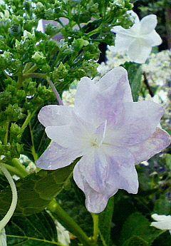 雨の中の紫陽花。
