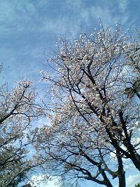 桜日和ですね。