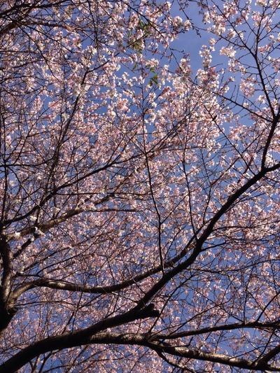 二度咲くのはなぜだろう。