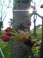 桜について。