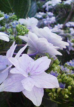 紫陽花の憂鬱。