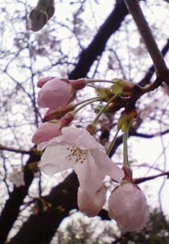 雨と桜の関係。