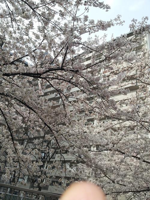 高田馬場桜2