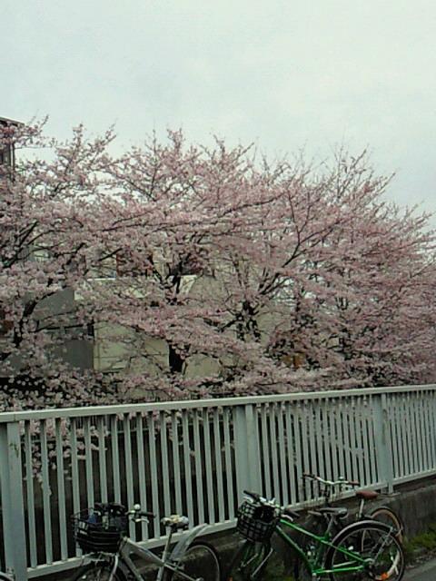 神田川お花見