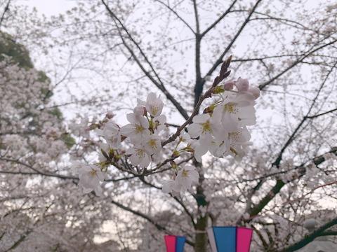 桜咲く社で(2019/3/28)