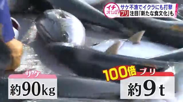 北海道、サケが獲れなくなった代わりにめちゃくちゃブリが獲れるようになるブリブリ