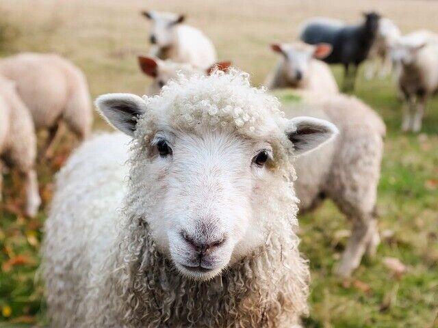 羊のメスはオスを選ぶのも草食系。強いオスよりも従順でおとなしいオスを選ぶ