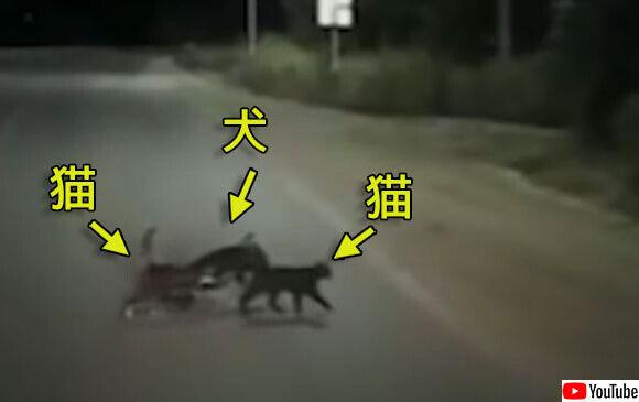 怪我を負った犬を気遣うように寄り添い、一緒に道路を渡る2匹の猫