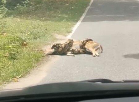 車道で大蛇に絞殺されそうになっていたシカさんを木の枝を使って救出する男の映像