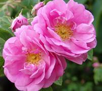 rose55