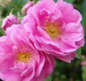 rose43215