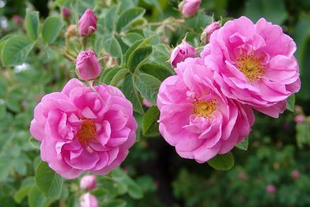 rose222