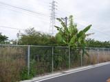 P7100239バナナ遠景